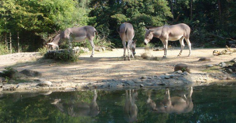 African Wild Donkey