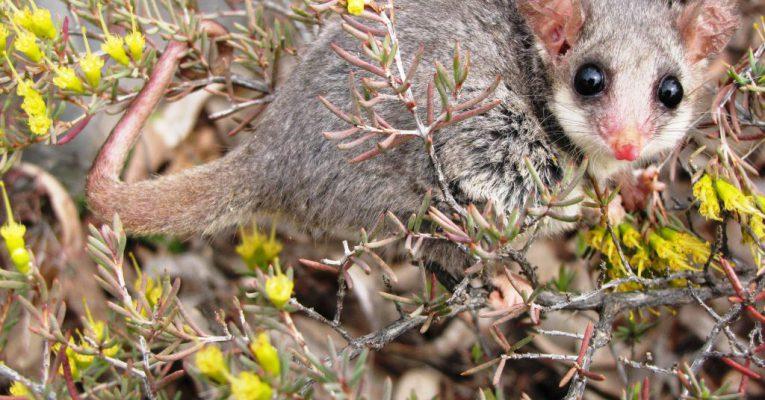 Mountain Pygmy Possum