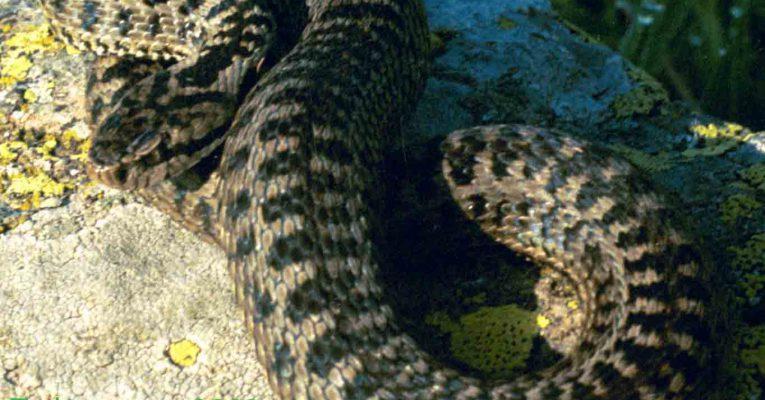 Southern Caucasian Viper