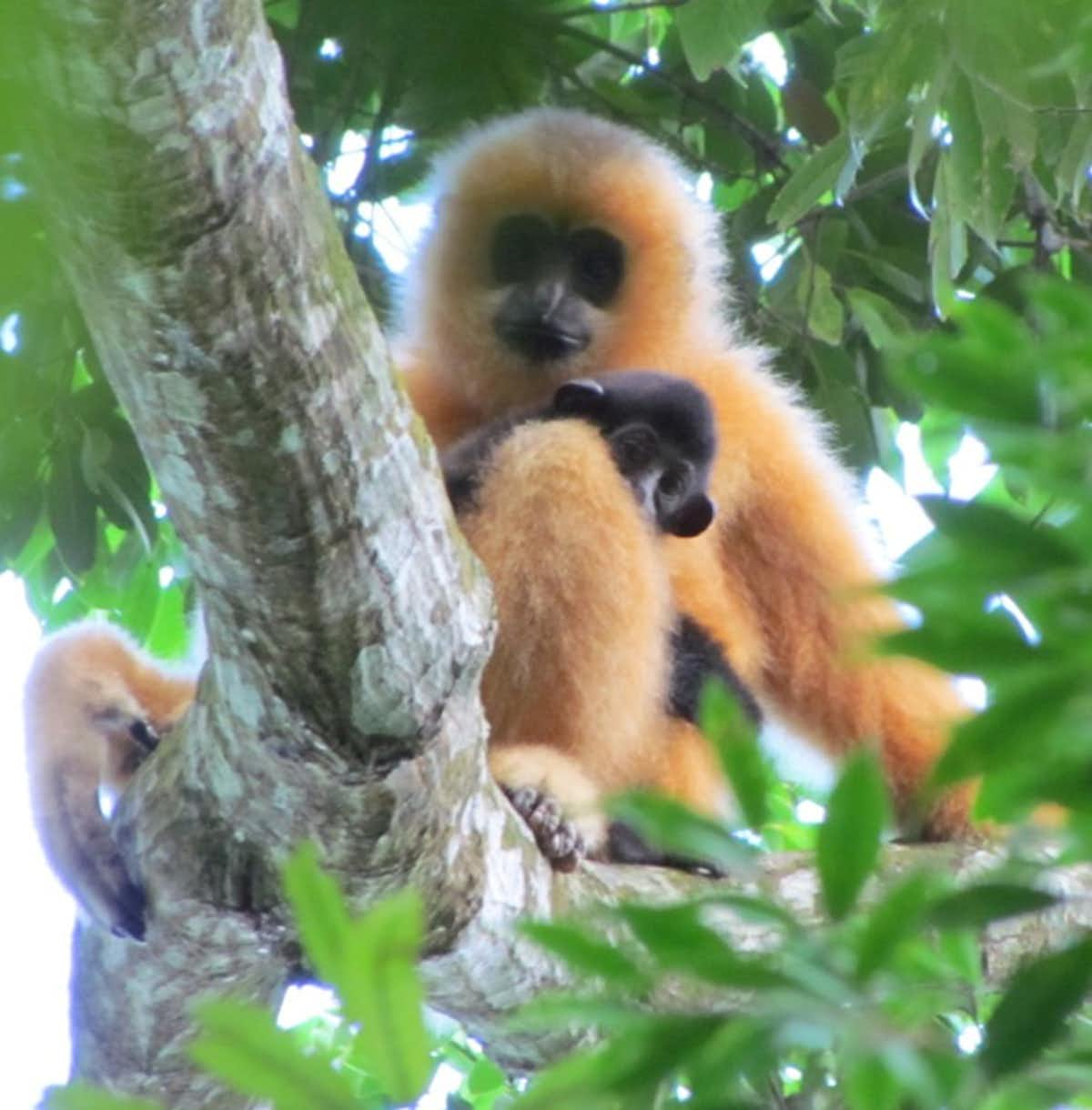 Hainan Black Crested Gibbon