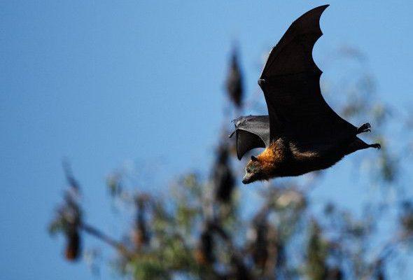 Bulmer's Fruit Bat