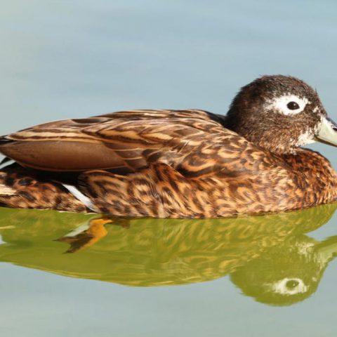 Laysan Duck
